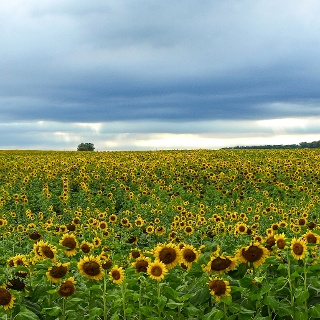 Sunflower field, Traill County, North Dakota