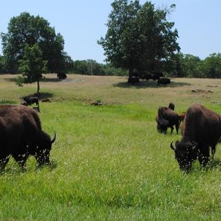 Büffelherde in Oklahoma
