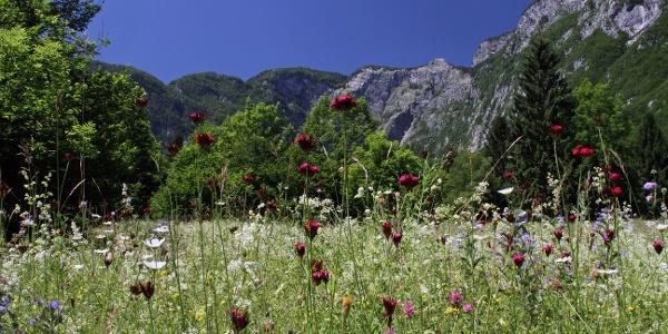 Flowering meadows in Ukanc