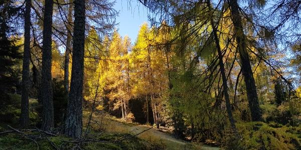 Durch den lichten Lärchenwald...