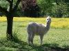 Lama   - © Quelle: Agentur arcos