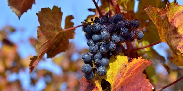 Weinreben in der Herbstsonne am Lindauer Bodensee