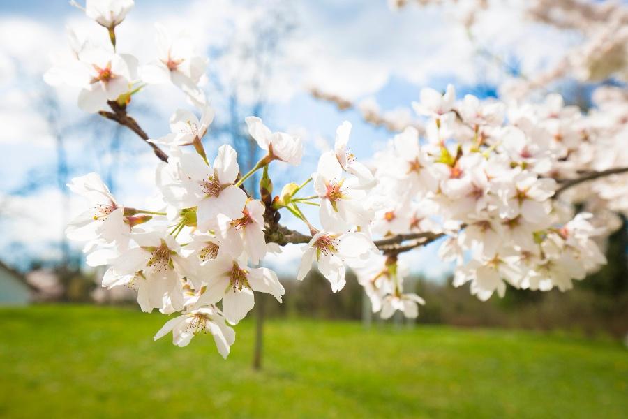 Kirschblütentour