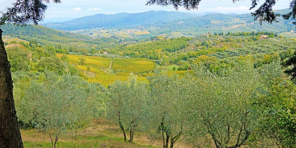 Olive trees in Panzano