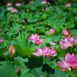 Lotus pond bloom