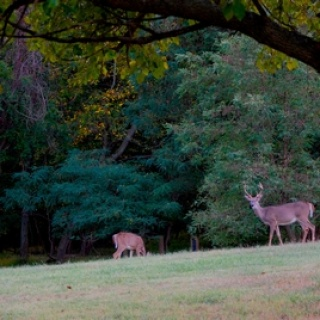 Deer in Greenbelt Park