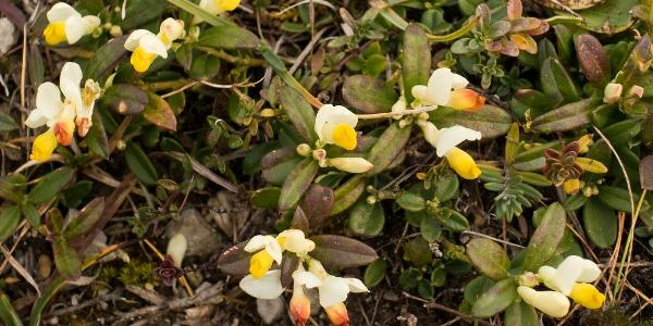 Zweite Blüte des Jahres im November! Chamaebuxus alpestris, Zwergbuchs