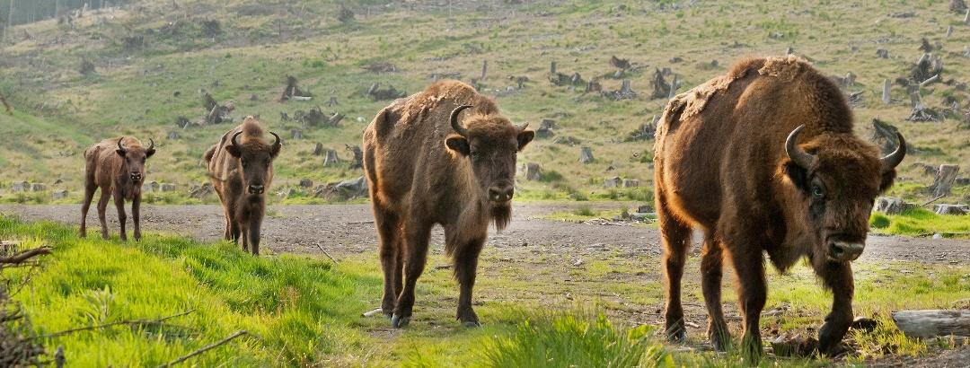 Wisent-Herde