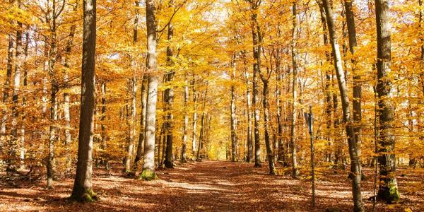 … feuriges Gold kleidet die Buchen, den Waldboden bedecken bereits braune Blätter.