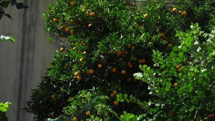Orangenhain in Esporles