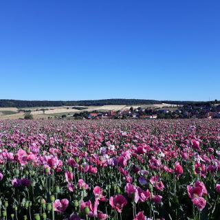 Ausblick auf Grandenborn während der Mohnblüte