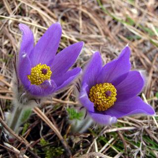 Blütenpaar