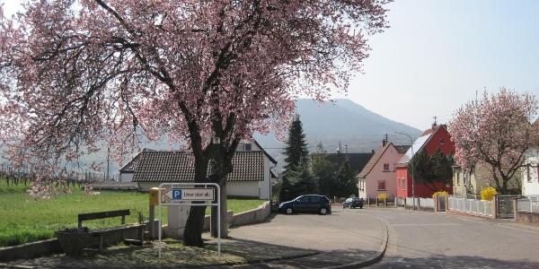 Albersweiler Mandelblüte