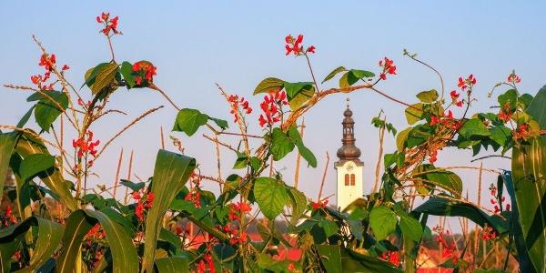 Käferbohne mit Hintergrund Barockkirche St. Ruprecht an der Raab (c) Ewald Neffe