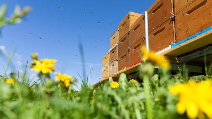 Suedtirol, Pustertal, Bienenstand von Robert Feichter, Loewenzahnbluete, Honig, Loewenzahnhonig, Bienen, Mai 2014, Fruehling,
