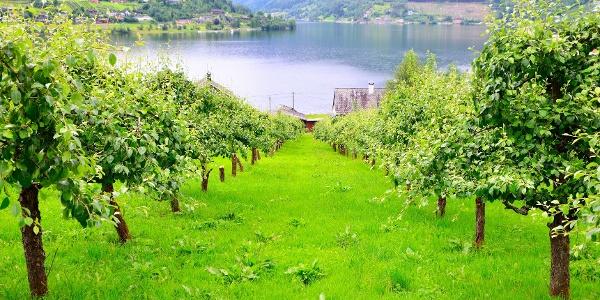 Apple Orchard in Ulvik