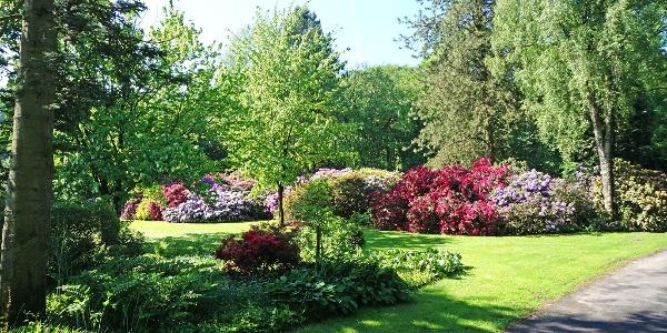 Wunderschön in unterschiedlichen Farben blühende Rhododren