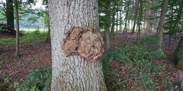 Wucherung am Baumstamm