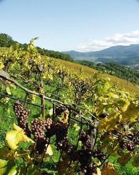 Weinlese am Staufenberger Grossenberg