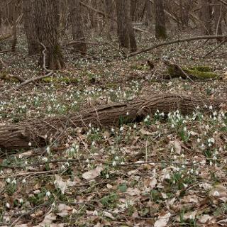A környék erdeit kora tavasszal a hóvirág szőnyege borítja
