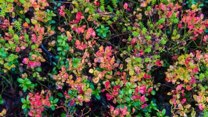 Autumn time colors on the bilberries leaves at the mountain Kätkä