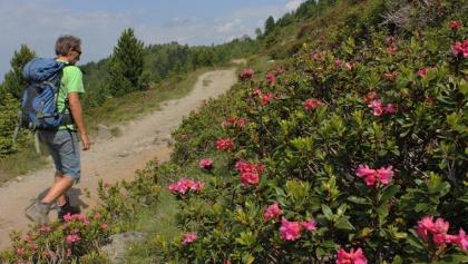 Panoramaweg mit Alpenrosen