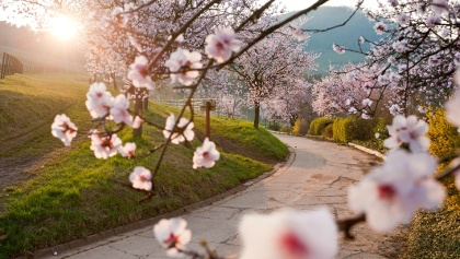 Mandelblüte Birkweiler