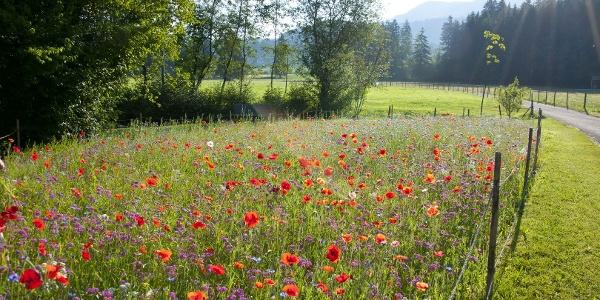 Bunte Blumenwiese im Kurpark in Fischen im Allgäu