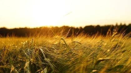 Ein Getreidefeld im Sonnenuntergangslicht