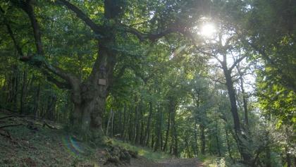 Sandl-hárs, az erdő legvénebb fája