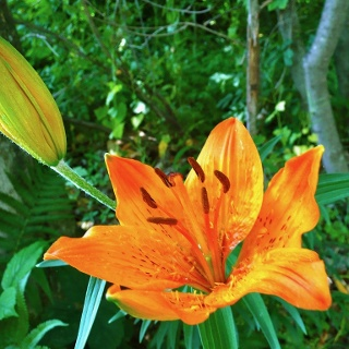 Feuer-Lilie (Lilium bulbiferum) am Wegesrand.