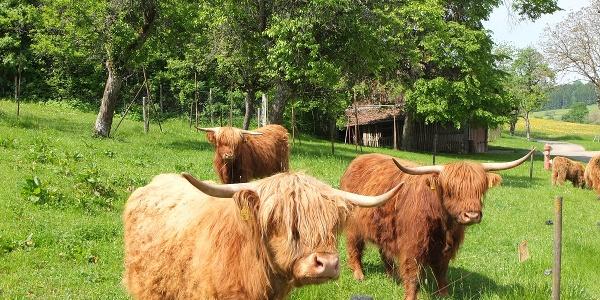 Highland Cattle auf der Straußenfarm in Außer-Ay