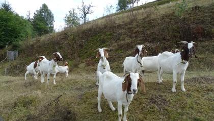 Ziegen bei Forbach-Bermersbach
