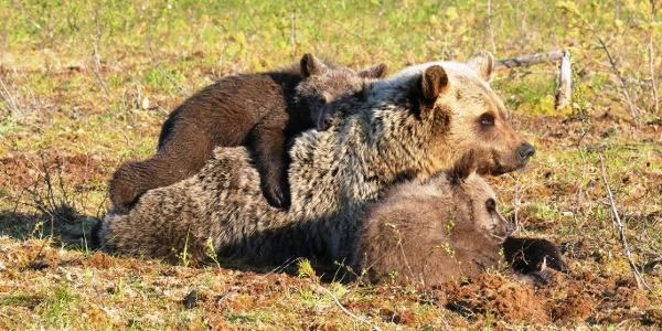 Family life in Martinselkonen Wilds Centre, bear watching night at Suomussalmi, Arctic Lakeland
