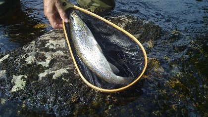 Brown trout catch&release, Kuhmo Finland Arctic Lakeland