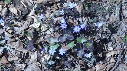 Frühlingsboten im Mauerner Wald