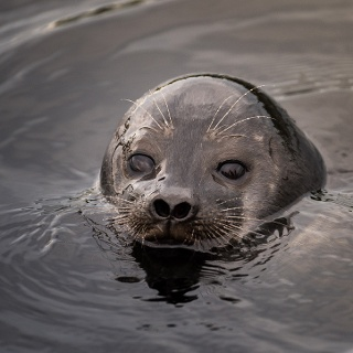 Saimaa ringed seals can be spotted on Lake Saimaa