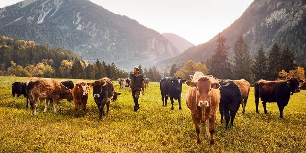 Kühe bei der Ranch Farsox mit Ausblick ins Albulatal Richtung Filisur u. Bergün © Giglio Pasqua