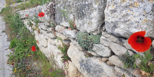 Poppies on the way into Gordes