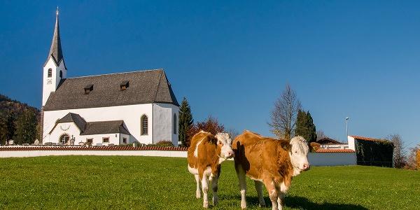 <![CDATA[Kühe vor der Pfarrkirche St. Jakobus in Aufham]]>