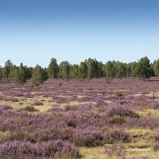 Blühende Heide im Naturpark Niederlausitzer Heidelandschaft
