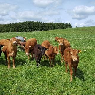 Rinder am Wegesrand