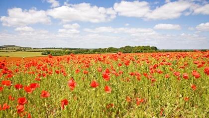 Poppies in Watlington