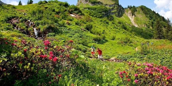 Alpenrosen am Weg zum Pic Chaussy.