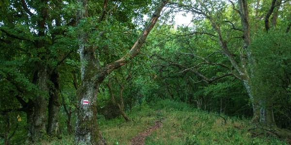 Zuzmó és moha lepte öreg fák a Jancsi-hegy gerincén