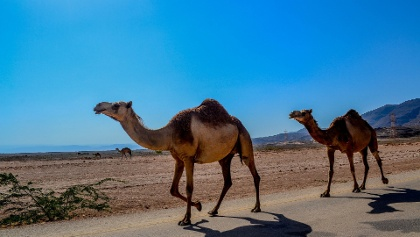 Kamele in der Wüste Salalah