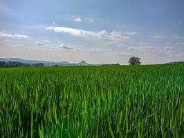 Foto Blick durch das Gerstenfeld bei Altendorf auf den Lilienstein