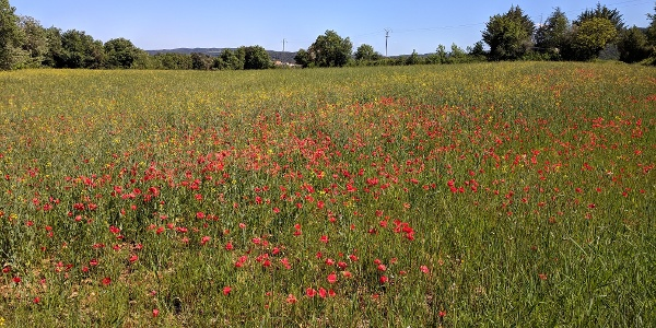Fields of Poppies along the route