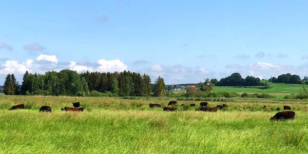 Rinderweide im Pfrunger-Burgweiler Ried