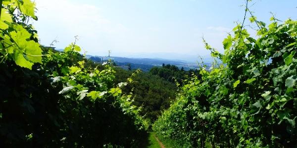 Weingarten-Weinlehrpfad